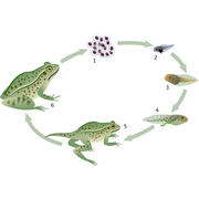 Lifecycle of the frog