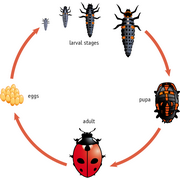 Lifecycle of the Ladybird